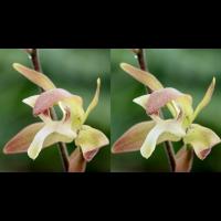 Ipsea thailandica Collage.jpg (plantsman)