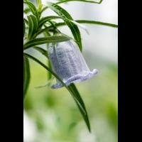 Nesocodon mauritianus 6170-1; Campanulaceae (2).jpg (plantsman)