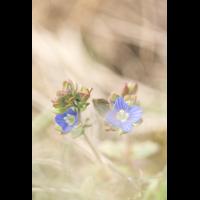 Veronica triphyllos.jpg (plantsman)