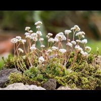 Crassula socialis 2193-1; Crassulaceae (1)-2.jpg (plantsman)