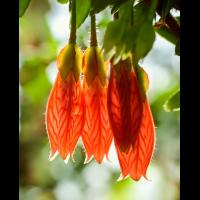 Agapetes serpens; Ericaceae (1).jpg (plantsman)