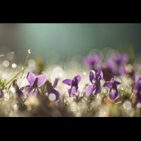 Viola odorata; Violaceae (2).jpg (plantsman)