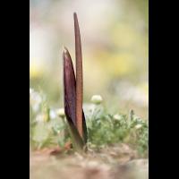 Biarum tenuifolium; Araceae (1).jpg (plantsman)