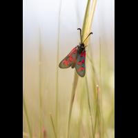 Widderchen Sizilien; Insekt (1).jpg (plantsman)