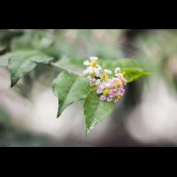Malpighia glabra 4480-1; Malpighiaceae (1).jpg (plantsman)