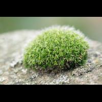 Grimmia pulvinata; Grimmiaceae Moos (4).jpg (plantsman)