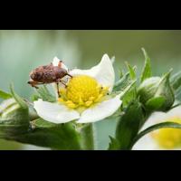 Rüsselkäfer Burgesroth-Bruchholz; Curculionidae Insekt (1).jpg (plantsman)