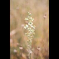 Ornithogalum creticum; Asparagaceae (1).jpg (plantsman)
