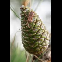 Leptoglossus occidentalis Amerikanische Kiefernwanze; Coreidae Insekt (1).jpg (plantsman)
