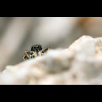 Philaeus chrysops Goldaugen-Springspinne; Salticidae Spinne (1)-2.jpg (plantsman)