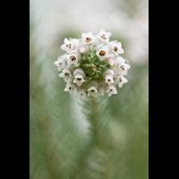 Erica maderi 5947-1; Ericaceae (3).jpg (plantsman)