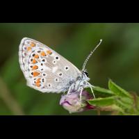 Bläuling Gruson; Lycaenidae Insekt (2).jpg (plantsman)