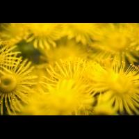 Aeonium aureum 4267-2; Crassulaceae (2).jpg (plantsman)