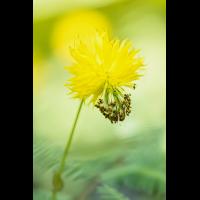Neptunia plena 3232-2; Fabaceae (10)-2.jpg (plantsman)