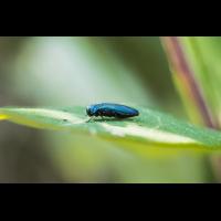 Agrilus cyanescens Heckenkirschen-Prachtkäfer; Buprestidae Insekt (1)-1-2.jpg (plantsman)