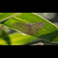 iNaturalist Spanner Gruson; Geometridae Insekt (2)-1-2-2.jpg (plantsman)