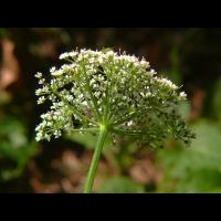 weiß-Aegopodium-podagraria-Giersch-20090614-Blütenstand-von-unten-(ohne-Hülle-&-ohne-Hüllchen!)-Bermatingen-Oberwald-darker.jpg (HärLe)