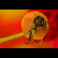 2019-12-08 11-24-09 Hagebutte mit rose im Tropfen_DENOISE projects.jpg (Werner33)
