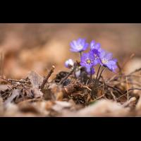 MFV_20200326-Hepatica nobilis-IMG_0998.jpg (lysfisker)
