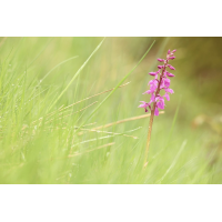 Orchis mascula.JPG (Andy22)