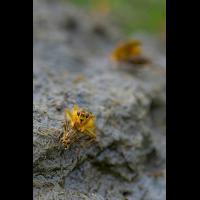Gelbe-Dungfliege-Projekt-2-DSC_2349_1-1-3.jpg (Kimbric)