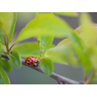 ladybug (5).jpg (Loemi)