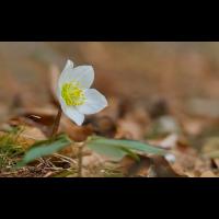 DSC06558 Nieswurzblüte... kl.jpg (Artengalerie)