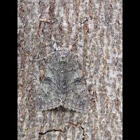 Catocala-nupta-EG031332.jpg (Artengalerie)