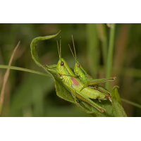 euthystira_brachyptera_kleine_goldschrecke_paarung_177_124.jpg (Artengalerie)