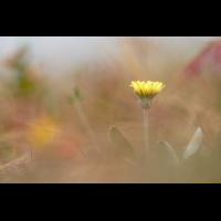 hieracium_pilosella_133.jpg (Artengalerie)