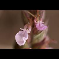 Edel_Gamander_Einzelblüte.jpg (Artengalerie)