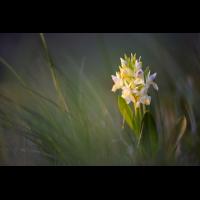 dactylorhiza_sambucina_2_s_468.jpg (Artengalerie)