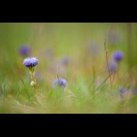 globularia_punctata_719.jpg (Artengalerie)
