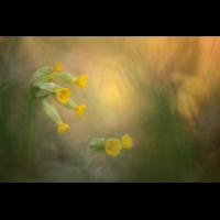 image__Robert_Severitt_wiesen_primel_veris_primula_fruehling_fruehlings_schluesselblume.jpg (Artengalerie)