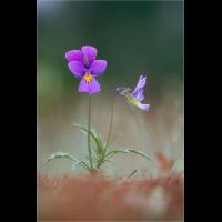 duenenveilchen_viola_tricolor_192.jpg (Artengalerie)