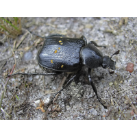 gnorimus_variabilis_157.jpg (Artengalerie)