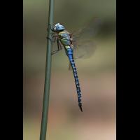 img_7161ae_affinis_427.jpg (Artengalerie)