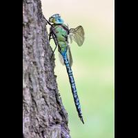 aeshna_viridis_m_hf_img_349_102.jpg (Artengalerie)