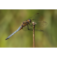 coerulescens_m_01a_131.jpg (Artengalerie)