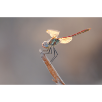 libelle_elba_3443_180.jpg (Artengalerie)