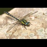 Gomphus_vulgatissimus_m_IMG_6907_1200.jpg (Artengalerie)