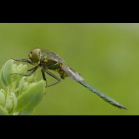 somatochlora_metallica__glaenzende_smaragdlibelle__maennchen_110.jpg (Artengalerie)