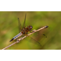libellula_fulva_m_jungfc_115.jpg (Artengalerie)