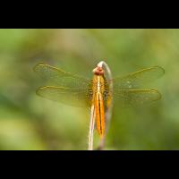 libelle_417.jpg (Artengalerie)