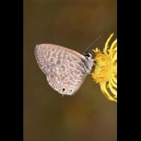 leptotes_pirithous_kleiner_wanderblaeuling_161.jpg (Artengalerie)