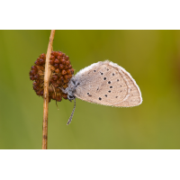 maculinea_teleius_iii_135.jpg (Artengalerie)