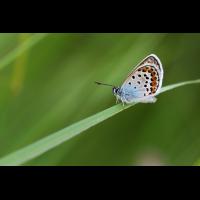 plebeius_argus_ii_196.jpg (Artengalerie)
