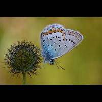 idas_silberfleck_blaeuling_203.jpg (Artengalerie)