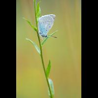 polyommatus_daphnis_m_839.jpg (Artengalerie)