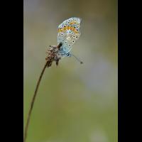 polyommatus_thersites_iii_826.jpg (Artengalerie)